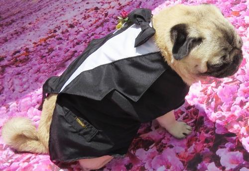roupa de cachorro/gato casamento fraque terno