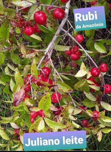 rubi da amazônia mudas frutíferas