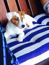 russell terrier. jack