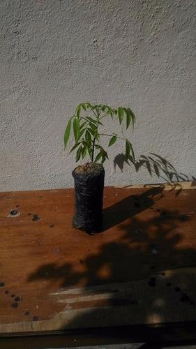 sacolas para mudas de café, pimenta do reino, eucalipto etc.