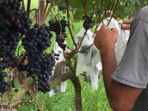 sacos agro tnt c/ elástico 25x32cm proteção frutas 50un