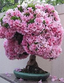 Sakura Japonés Flor De Cerezo Flor De Bonsai 10 Semillas