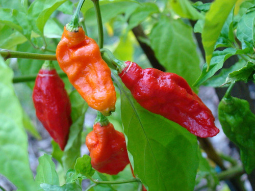salsa artesanal ghost pepper