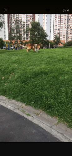 salto/ monta perro pastor collie.
