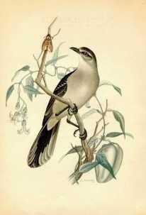 salvador magno 1942 - calandria - aves - lámina 45x30 cm.