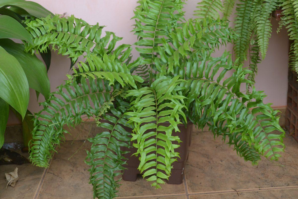 Resultado de imagem para samambaia planta