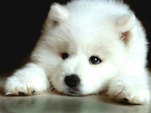 samoyedo cachorros  hermosas