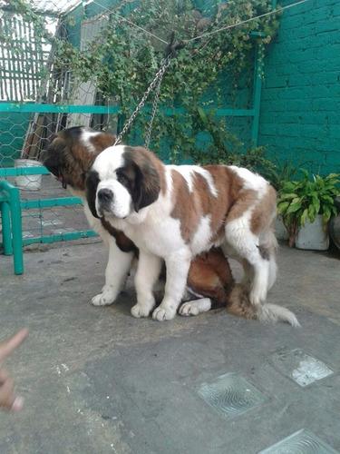 san bernando cachorros