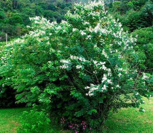 sansão do campo - cerca viva sementes para muda flor