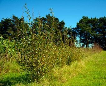 sauce caprea, árboles, vivero, arbustos, césped, macetas