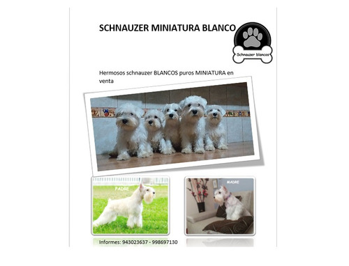 schnauzer blanco miniatura