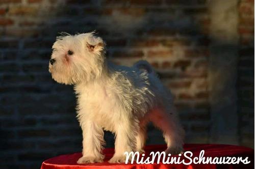 schnauzer miniatura hembrita blanca misminis
