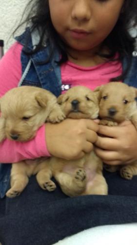 scott terrier cachorros hermosos