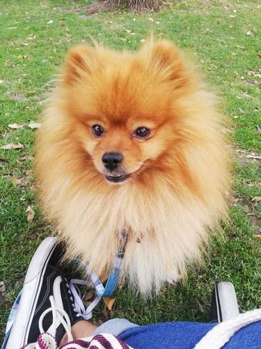 se alquila perro para monta raza pomerania con pedigre