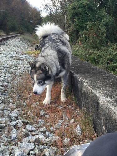 se ofrece perrito husky/alaska para cruzar