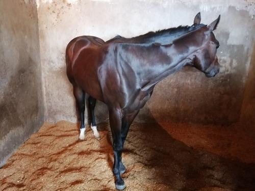 se vende caballo spc en training