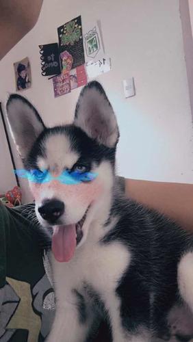 se vende cachorro husky siberiano