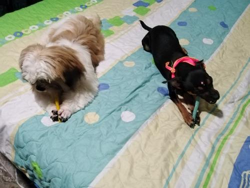 se vende cachorro shitzu
