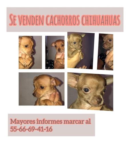 se vende cachorros chihuahua