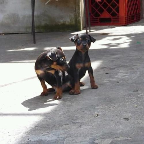 se vende cachorros  de mini pincher