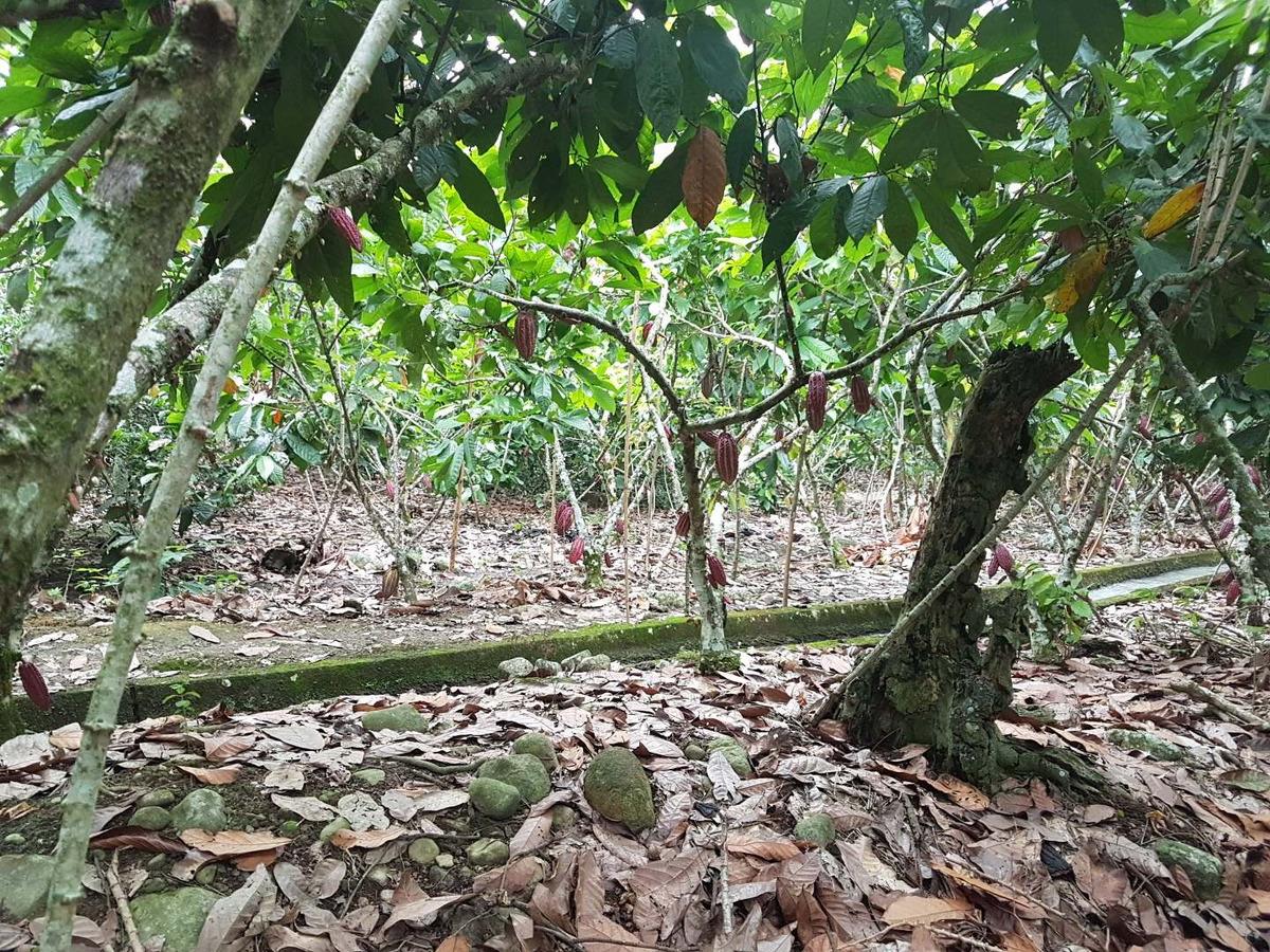 se vende finca de cacao
