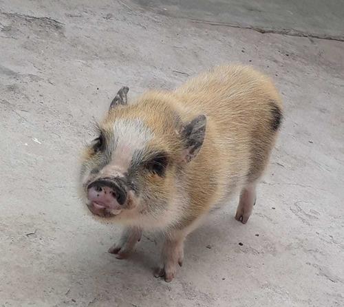 se vende mini pig