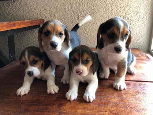 se venden cachorros beagle.