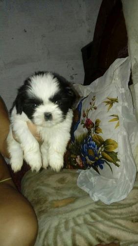 se venden cachorros de shih tzu mini