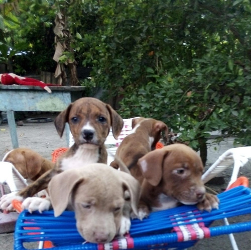 se venden cachorros pitbull solo whassap 3508607728