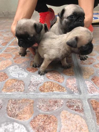 se venden cachorros pug.