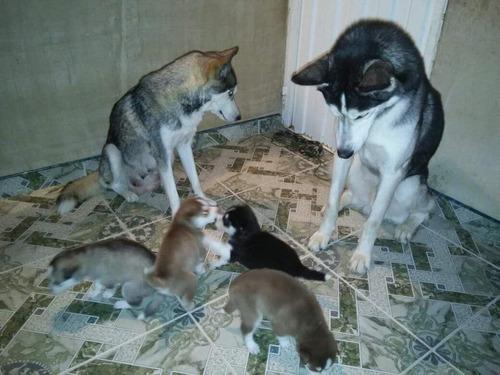 se venden lindos cachorros husky siberiano