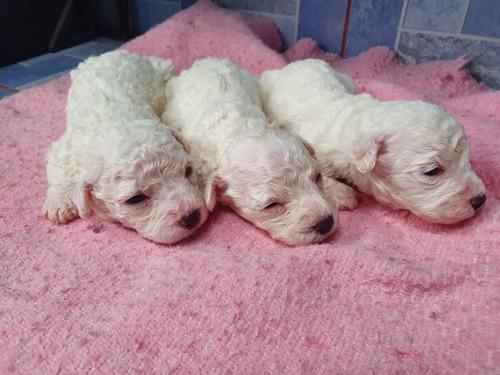 se venden perritos french poodle machos