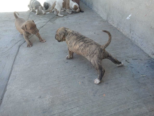 se venden perros american bullyn