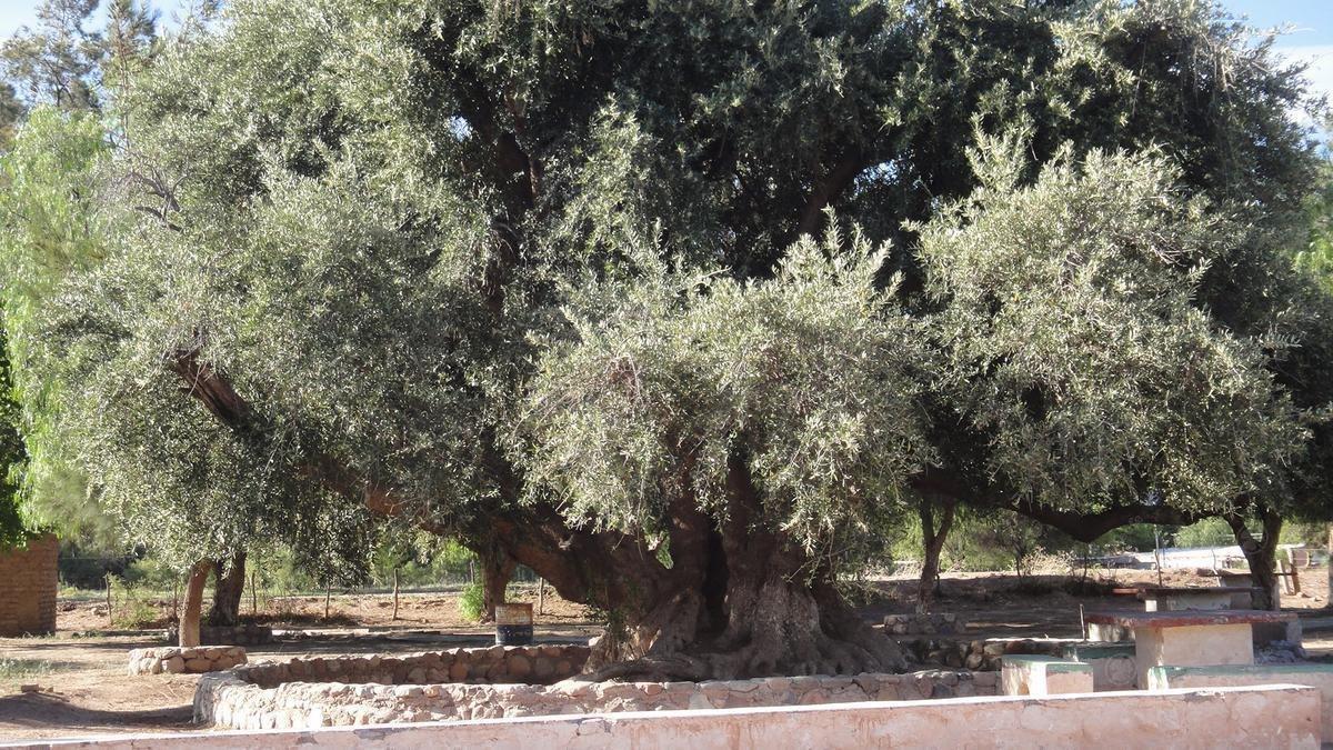 sea propietario de una parcela de olivos,renta asegurada!