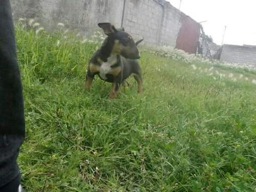 semental  bull terrier inglés con pedigree internacional