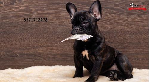 semental bulldog francés línea europea gen chocolate