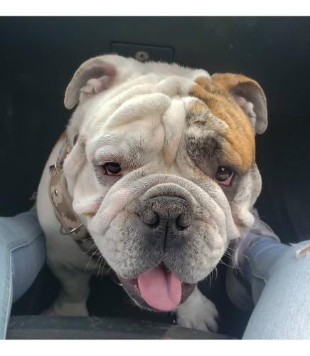 semental de bulldog inglés atigrado con pedigree para monta