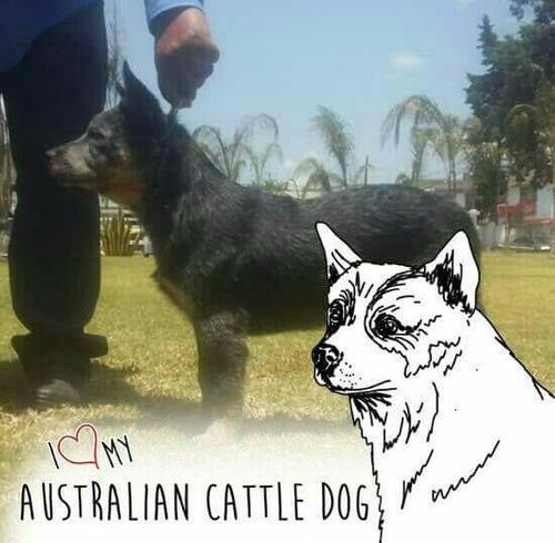 semental ganadero australiano para cruza