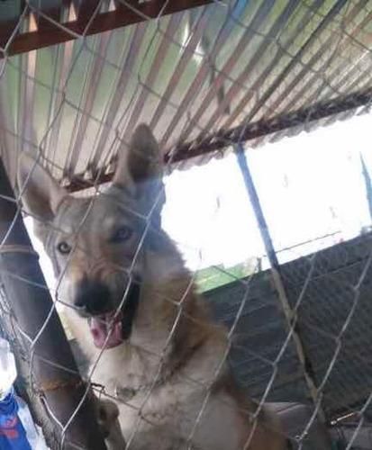 semental para maquila lobo checoslovaco wolf dog