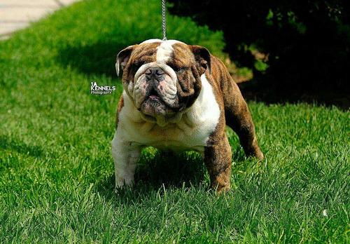 sementales bulldog ingles hijo de multich manchester hdz