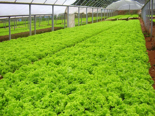 semente de alface crespa vanda sakata 7500 peletes