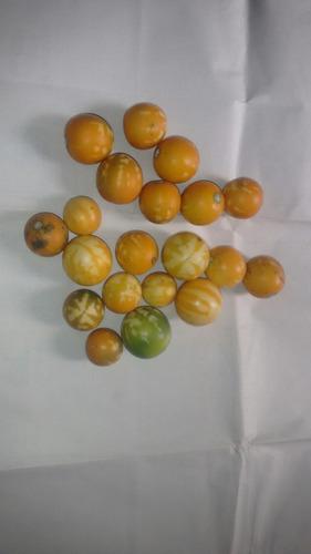 semente de jiquiri