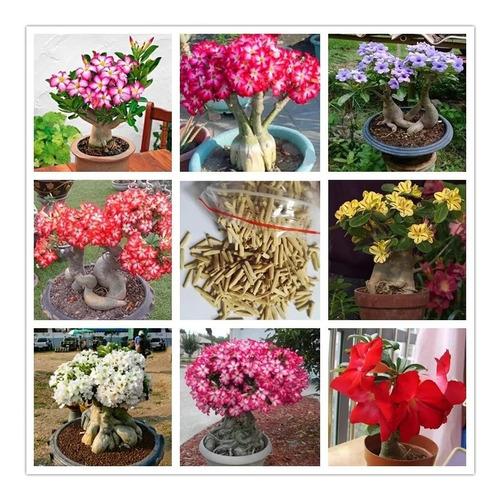semente de rosa do deserto mix cores - 30 sementes adenium