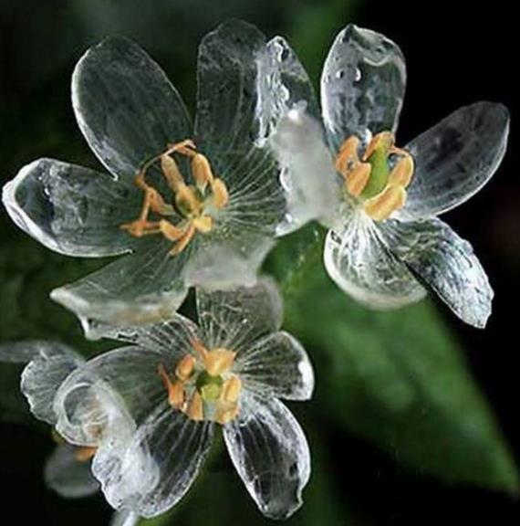 semente flor cristal flor de diphylleia grayi r 34 80 em mercado