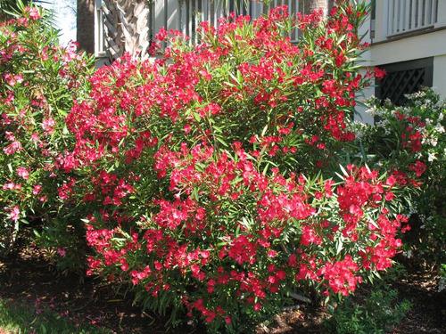 semente oleandro vermelho espirradeira oleander frete gratis