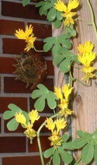 semente pássaro peregrino trepadeira canary bird flor p/muda