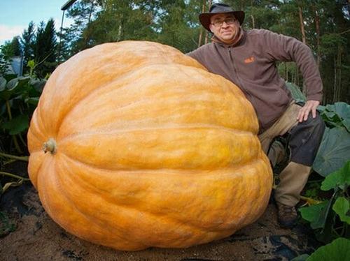 sementes abobora gigante dills atlantic guinness record!!