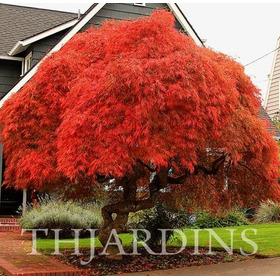 Sementes Acer Dissectum Atropurpureum Árvore Maple E Bonsai
