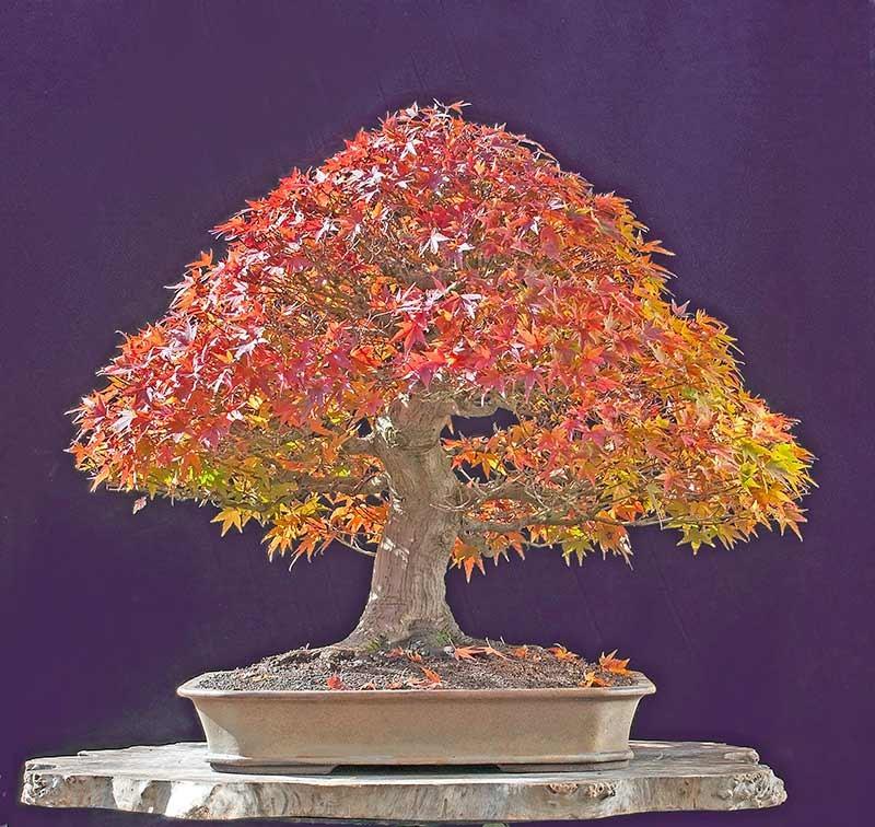 Sementes acer palmatum rubrum saccharum ginnala - Arce rubrum bonsai ...