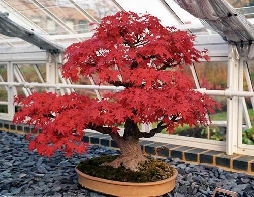 sementes acer palmatum, rubrum, saccharum, ginnala - bonsai
